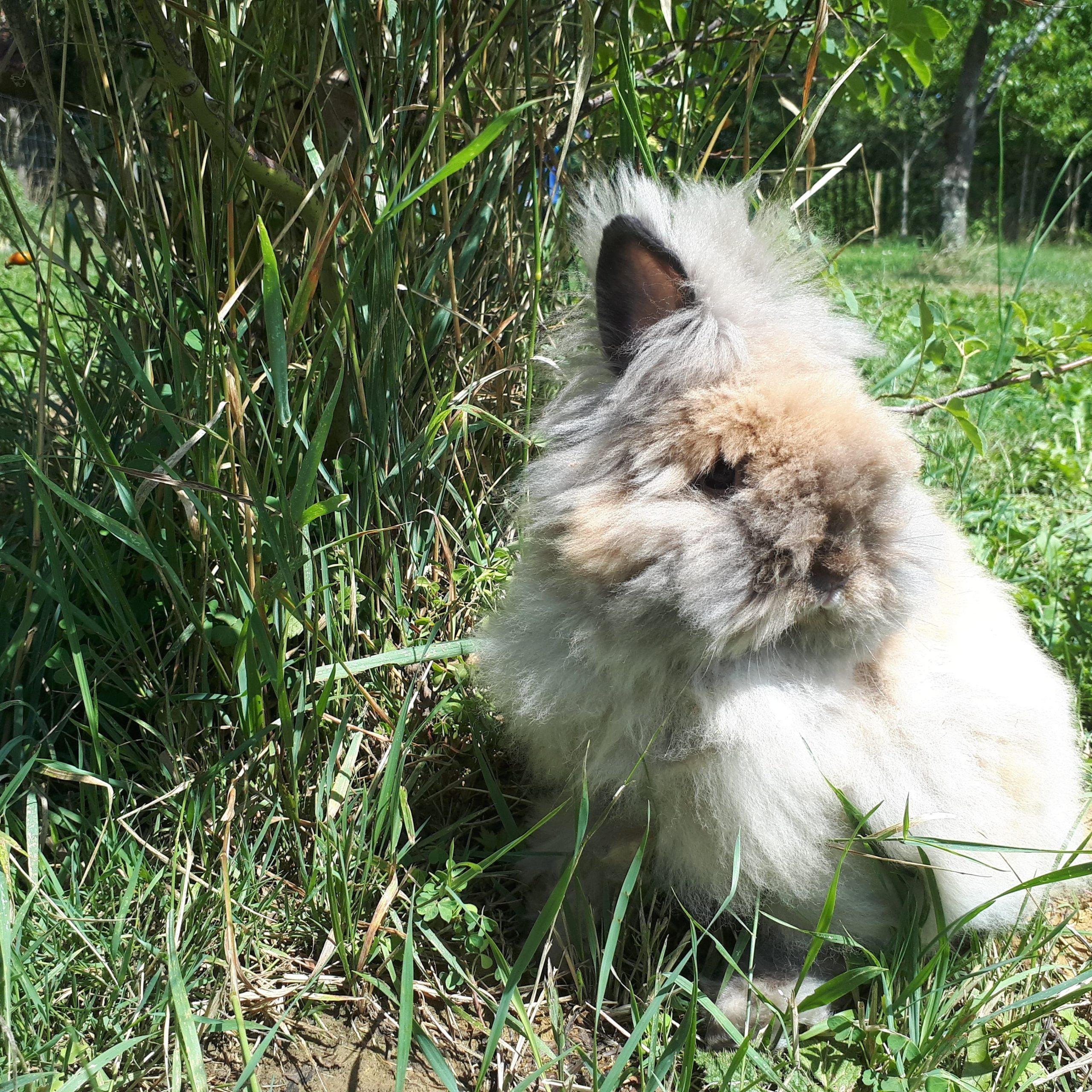 Les lapins Angoras et l'angora