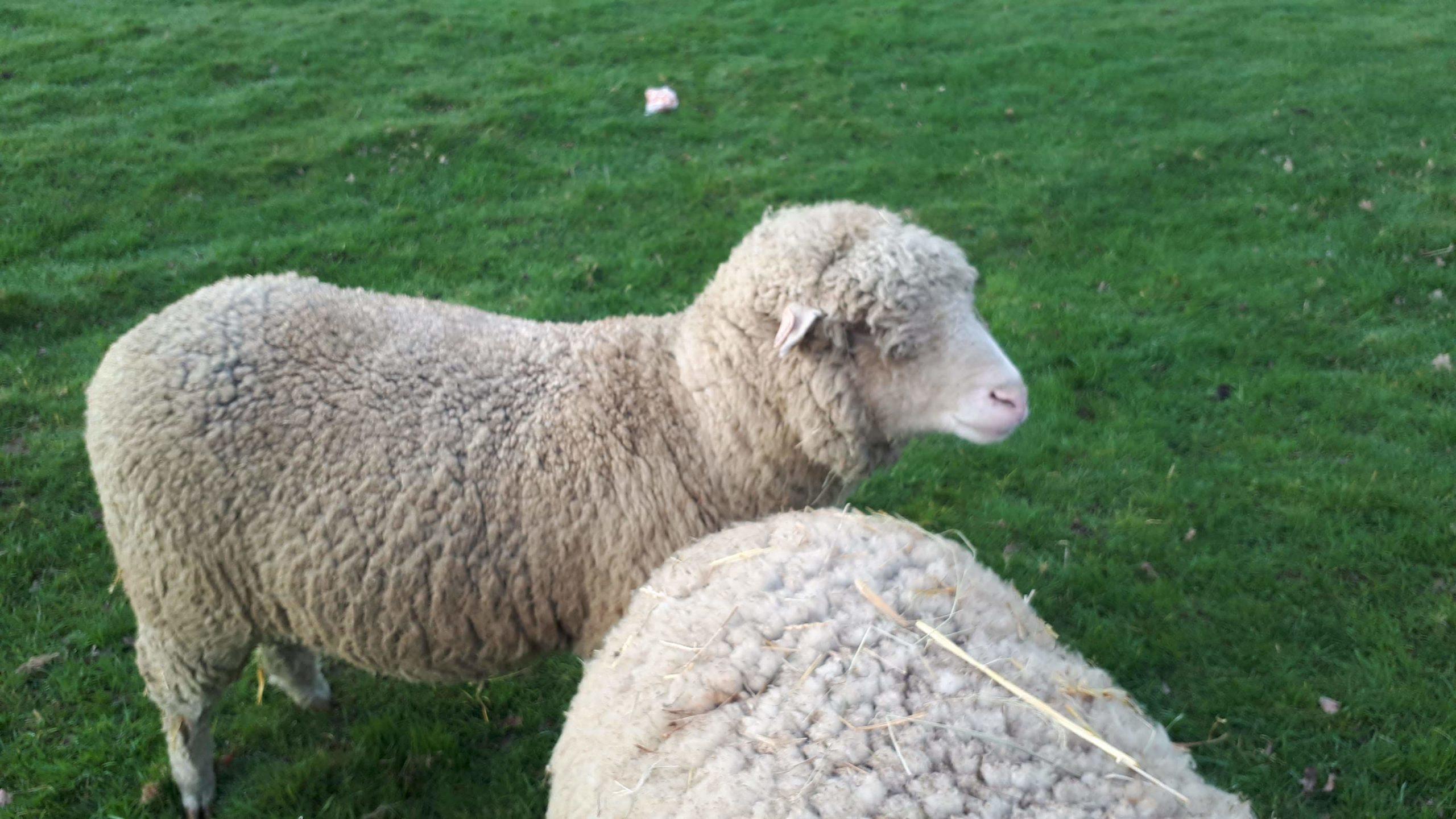 Comprendre d'ou vient la laine?