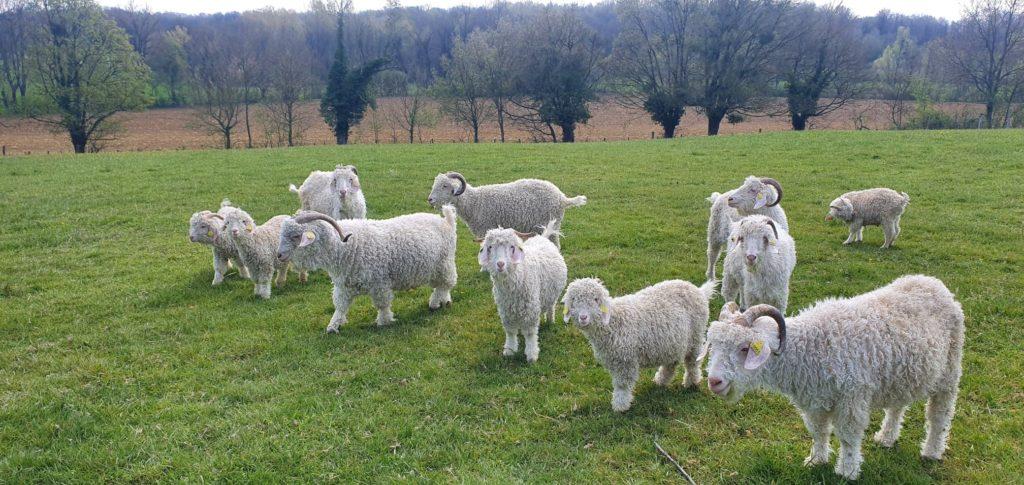 Decouvrir les chèvres angora et le mohair