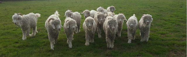 La vie des chèvres