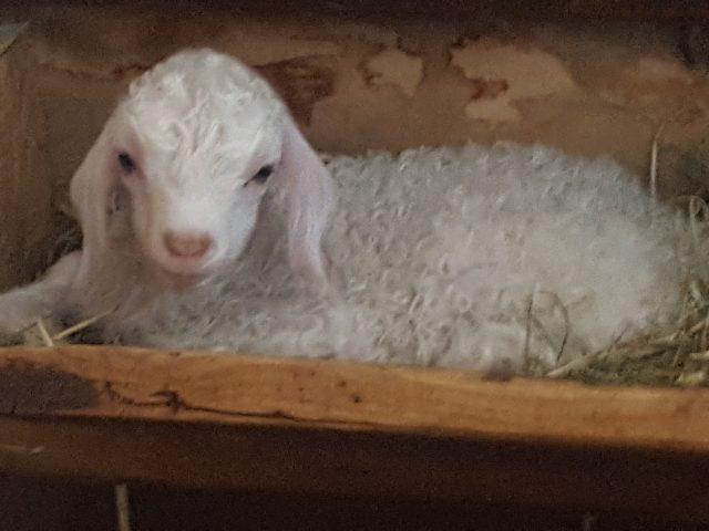 Nos chèvres Parrainées